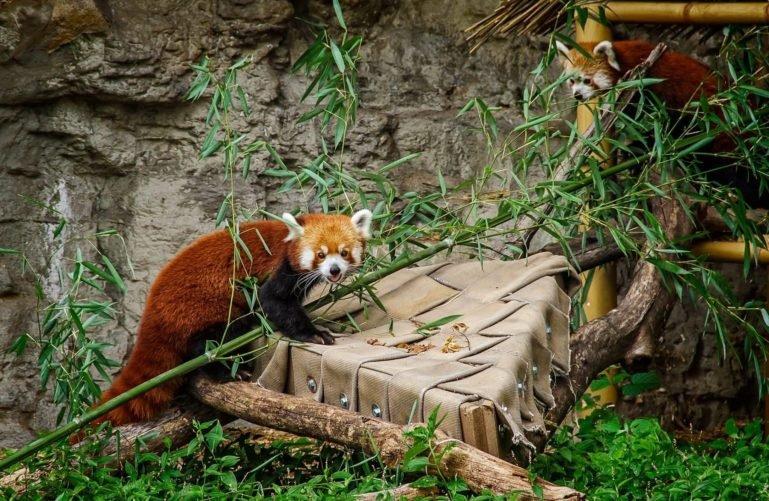 Red Panda at Saint Louis Zoo